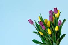 Yellow and violett tulips on the right side ofl ight blue background. Easter, March 8, valentines day, mothers day, copy space, close up Stock Photography