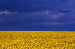 Yellow vivid flowers. Vivid yellow flowers field with blue sky stock images