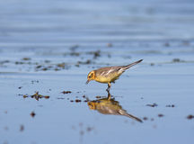 Yellow wagtail. Looking for food Stock Images