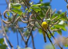 Yellow wagtail Stock Photos