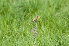 Yellow Wagtail Royalty Free Stock Images