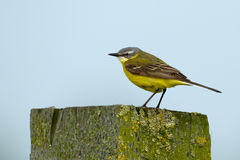 Yellow wagtail. On a plie Royalty Free Stock Photography