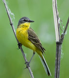 Yellow Wagtail. Western Yellow Wagtail on plant Stock Images