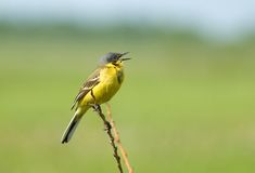 Yellow wagtail. Singing yellow wagtail Royalty Free Stock Photo