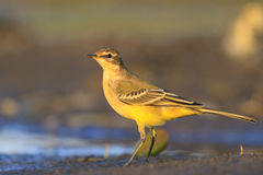 Yellow wagtail on a background of dark Stock Photo