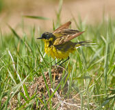 Yellow wagtail after bath Royalty Free Stock Photos