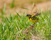 Yellow wagtail after bath Stock Photography