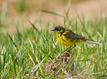 Yellow wagtail after bath Stock Image