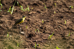 Yellow Wagtail Bird Royalty Free Stock Photography