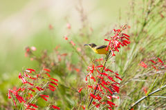 Yellow Wagtail Bird. Sitting on the flower royalty free stock photo