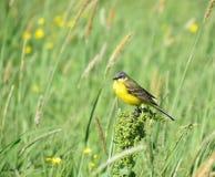 Yellow wagtail bird Royalty Free Stock Photo