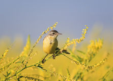 Yellow Wagtail bird sitting a branch of clover on a summer field. Wagtail bird sitting a branch of clover on a summer field royalty free stock photos