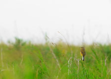 Yellow Wagtail bird sitting on a branch in the green grass. Field yellow Wagtail bird sitting on a branch in the green grass Royalty Free Stock Photography