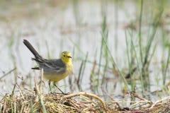 Yellow wagtail bird, sitting on wetland ground, India. Yellow wagtail bird, scientific name - Motacilla flava, sitting on wetland ground. It is the early winter Stock Photo