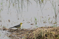 Yellow wagtail bird, sitting on wetland ground, India. Yellow wagtail bird, scientific name - Motacilla flava, sitting on wetland ground. It is the early winter Stock Images