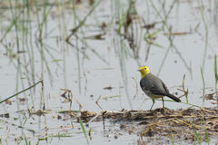 Yellow wagtail bird, sitting on wetland ground, India. Yellow wagtail bird, scientific name - Motacilla flava, sitting on wetland ground. It is the early winter Royalty Free Stock Image