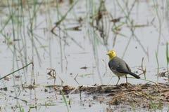 Yellow wagtail bird, sitting on wetland ground, India Royalty Free Stock Image