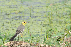 Yellow wagtail bird, sitting on wetland ground, India Royalty Free Stock Images