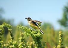 Yellow wagtail bird Stock Photos
