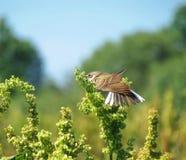 Yellow wagtail bird Royalty Free Stock Image