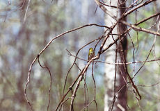 Yellow Wagtail on a branch in spring forest. The citrine Wagtail on a branch in spring forest stock photo