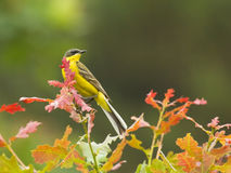 Yellow Wagtail on branch of tree. Western Yellow Wagtail on autumn branch of tree Royalty Free Stock Photo