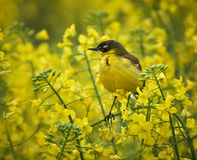 Yellow wagtail camouflaged in rape field Stock Images