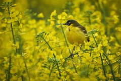 Yellow wagtail camouflaged in rape field Royalty Free Stock Photos