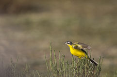 Yellow Wagtail Just About to Fly. A yellow wagtail is caught just about to fly Royalty Free Stock Images