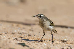 Yellow wagtail eating worm Stock Photos
