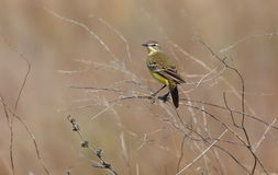 Yellow wagtail female Royalty Free Stock Images
