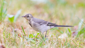 Yellow wagtail, female Royalty Free Stock Images