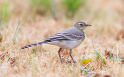 Yellow wagtail, female Royalty Free Stock Photo