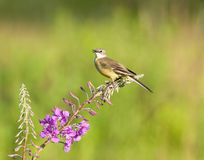 Yellow Wagtail on Fireweed flower. Western Yellow Wagtail on Fireweed flower Stock Image