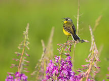 Yellow Wagtail on Fireweed flower. Western Yellow Wagtail on Fireweed flower Royalty Free Stock Images