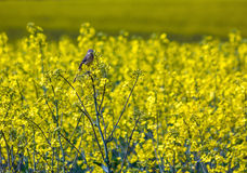 Yellow wagtail Royalty Free Stock Photos