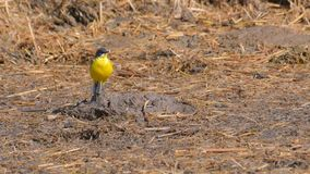 Yellow wagtail in the foreground on the dry lawn stock photography