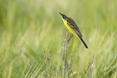 Yellow wagtail. In a grain field on a branch Royalty Free Stock Photos