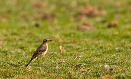 A Yellow Wagtail on the grass Stock Images