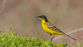 Yellow Wagtail on Grass Royalty Free Stock Photo
