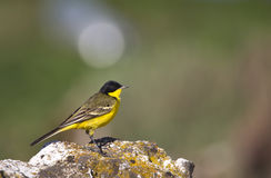 Yellow Wagtail with Green Background. A yellow wagtail is on a green background stock image