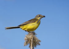 Yellow Wagtail and its prey Stock Photo