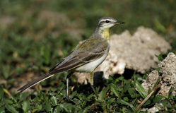 Yellow wagtail. On a lakebed stock images