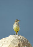 Yellow wagtail on the limestone rock Stock Image