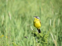 Yellow wagtail, Lithuania Stock Photos