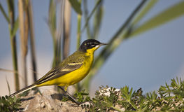Yellow Wagtail (Motacilla flava). A yellow wagtail is looking around on a piece of rock Stock Photography
