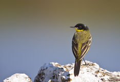 Yellow Wagtail Looking Left with Back Detail. A yellow wagtail is is perching on a piece of rock looking left with back detail stock images
