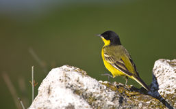 Yellow Wagtail Looking Left with Back Detail. A yellow wagtail is is perching on a piece of rock looking left with back detail Royalty Free Stock Photos