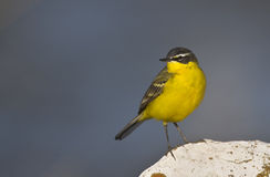 Yellow Wagtail Looking Left (Motacilla flava). A yellow wagtail is is perching on a piece of rock looking left stock photography