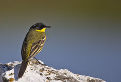 Yellow Wagtail Looking Right with Back Detail. A yellow wagtail is is perching on a piece of rock looking right with back detail Royalty Free Stock Photography